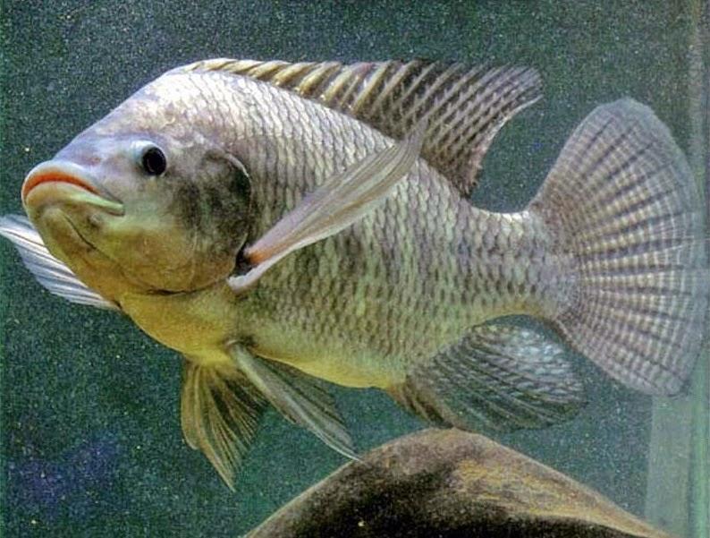 Cara Menggambar Ikan Mujair