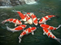 Cara Menggambar Ikan Hias