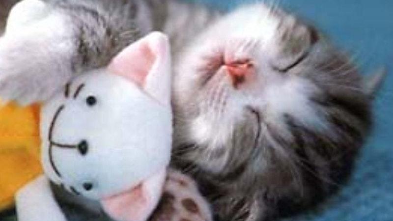 55 Kumpulan Gambar Kucing Semua Jenis Terlengkap Terbaru Vidio