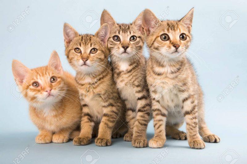 Kumpulan Semua Jenis Kucing Bertubuh Kecil Pendek Terlengkap Vidio