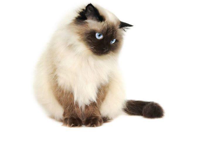 Kumpulan Jenis Kucing Siam Paling Lengkap Beserta Vidio Gambar Cara