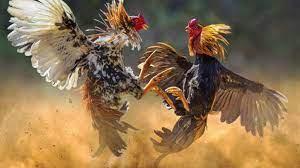 Asal Usul dan Sejarah Ayam Bangkok