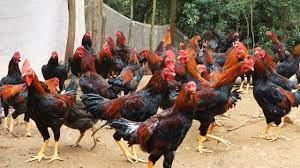 Harga Ayam KUB Luar Jawa