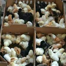 Asal Usul Ayam KUB Joper