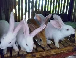 Jual Kelinci Mini