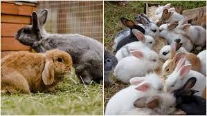 Bagaimana Peluang Usaha Beternak Kelinci