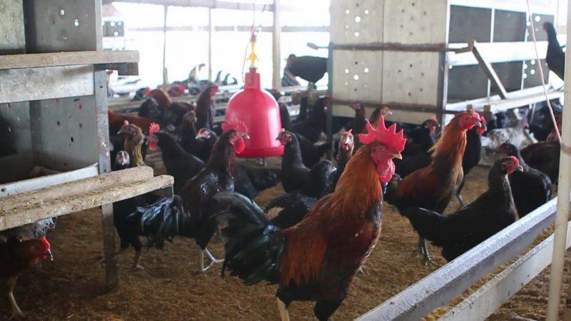 Pengertian Ayam KUB